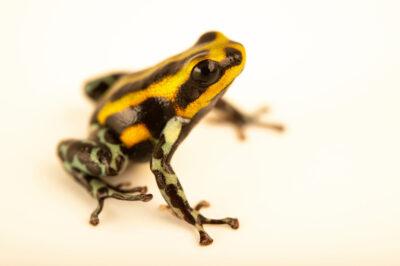 Photo: A siren poison dart frog (Ranitomeya sirensis) at the Amphibian Foundation in Atlanta, GA.