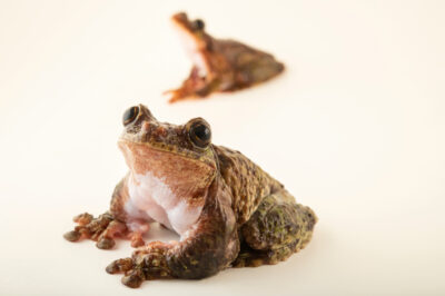 Photo: A pair of critically endangered San Martin fringe-limbed tree frogs (Ecnomiohyla valancifer) at the Amphibian Foundation in Atlanta, Georgia.