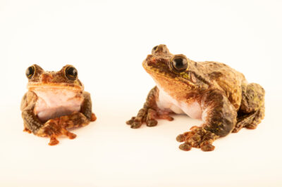 Photo: A pair of critically endangered San Martin fringe-limbed treefrogs (Ecnomiohyla valancifer) photographed at the Amphibian Foundation in Atlanta, Georgia.