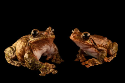 Photo: A pair of critically endangered San Martin fringe-limbed tree frogs (Ecnomiohyla valancifer) at the Amphibian Foundation in Atlanta Georgia.