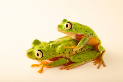 Photo: A pair of critically endangered Costa Rican lemur leaf frogs (Agalychnis lemur) Photographed at the Amphibian Foundation in Atlanta, Georgia.