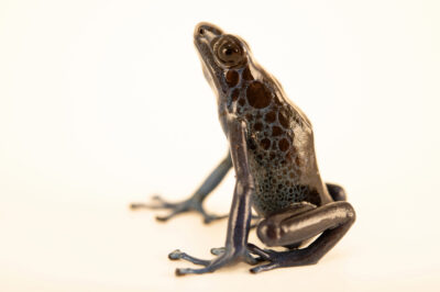 Photo: A tinging poison frog (Dendrobates tinctorius) Koetari form, photographed at the Amphibian Foundation in Atlanta, Georgia.