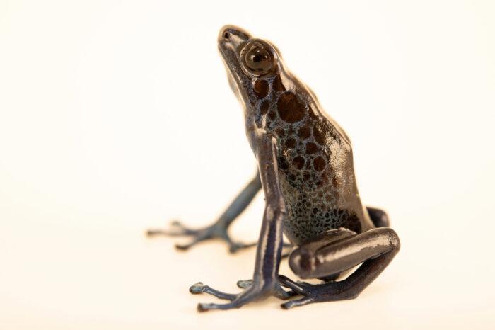 Photo: A tinging poison frog (Dendrobates tinctorius) Koetari form, photographed at the Amphibian Foundation in Atlanta, Georgia.