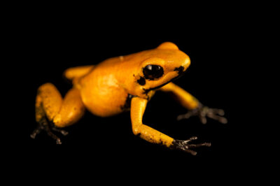 Photo: A endangered black footed golden poison frog (Phyllobates terribilis) photographed at the Amphibian Foundation in Atlanta, Georgia.