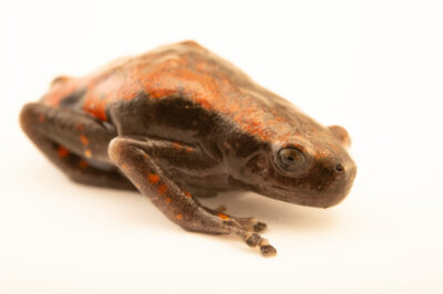 Photo: A red rubber frog (Phrynomantis microps) at a private collection.