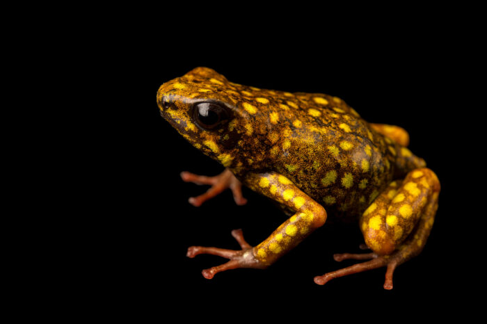 Photo: Paru morph of a little devil poison frog or Kiki poison frog (Oophaga sylvatica) at St. Louis Zoo. This facility is famous for studying cures for chytrid fungus and other threats.