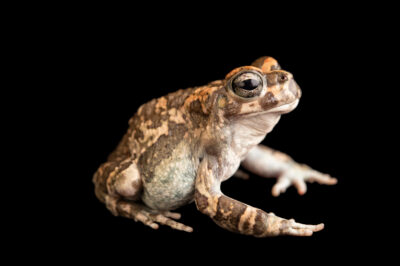 Photo: A Karoo toad, Vandijkophrynus gariepensis, at Prague Zoo. This species is common in its native South Africa and plays an important role within the eco-system.