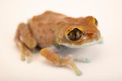Photo: An Uluguru forest tree frog (Leptopelis uluguruensis) at Prague Zoo. This species is endemic to the Uluguru mountains in Tanzania.