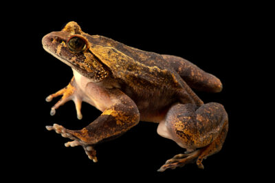 Photo: A hairy frog (Trichobatrachus robustus) from a private collection.