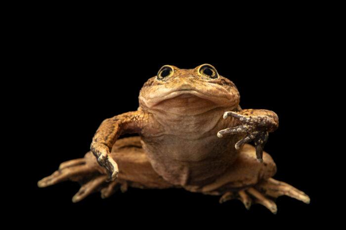 Photo: A critically endangered Loa water frog (Telmatobius dankoi) at the Santiago Zoo in Chile.