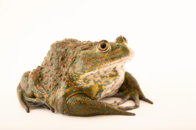 Photo: A helmeted water toad (Calyptocephalella gayi) at the Santiago Zoo in Chile.
