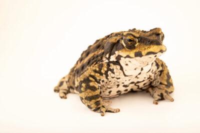 Photo: A conception toad (Rhinella arunco) at the Santiago Zoo in Chile.