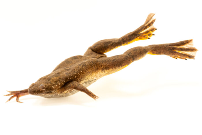 Photo: A Mueller's clawed frog (Xenopus muelleri) at the Sedgwick County Zoo in Wichita, Kansas.