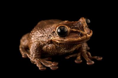 Photo: A Jordan's casque-headed tree frog or bone-headed tree frog (Trachycephalus jordani) at SeaWorld San Diego.