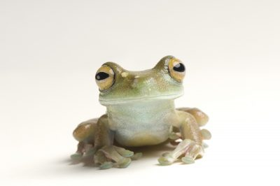 Photo: A canal zone tree frog (Hypsiboas rufitelus) at Atlanta Zoo.