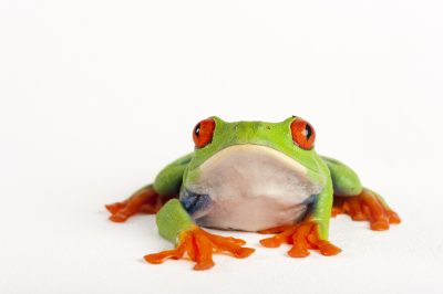 Photo: A red eyed tree frog (Agalychnis callidryas) from a private collection.