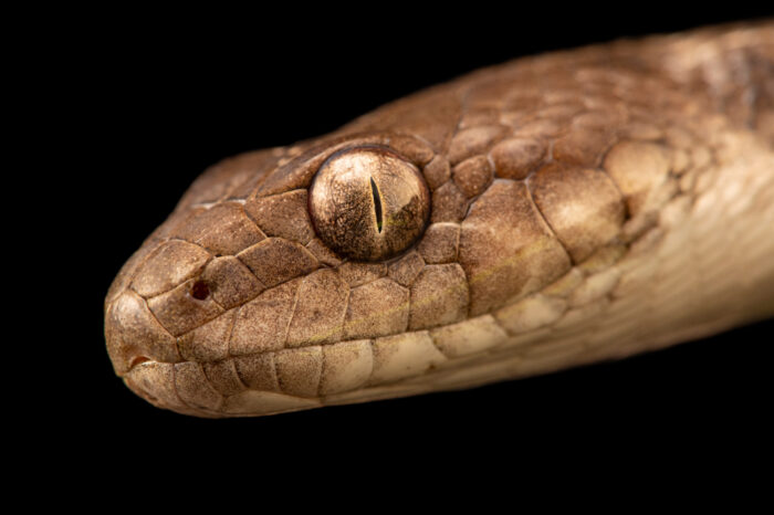 Photo: A Madagascar night snake (Madagascarophis colubrinus occidentalis) at the Plzen Zoo in the Czech Republic.