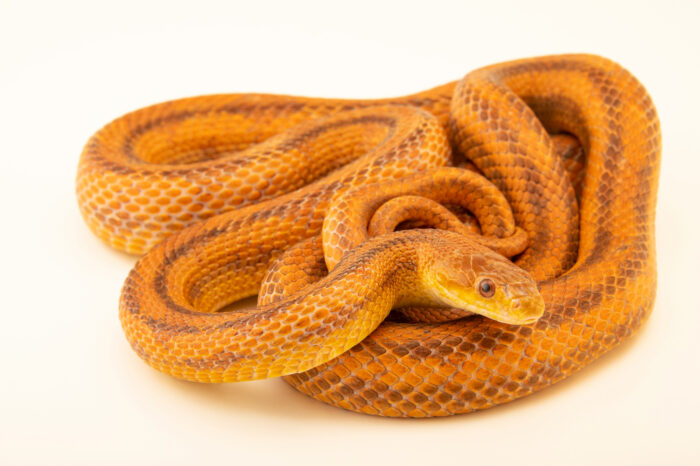 Photo: A juvenile Florida Keys rat snake (Pantherophis alleghaniensis deckerti) from a private collection.