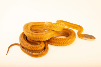 Photo: A Baird's ratsnake, Eastern Mexican grey headed form, (Pantherophis bairdi) at a private collection.