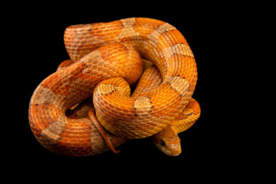Photo: A Florida keys corn snake (Pantherophis guttatus rosacea) at a private collection.