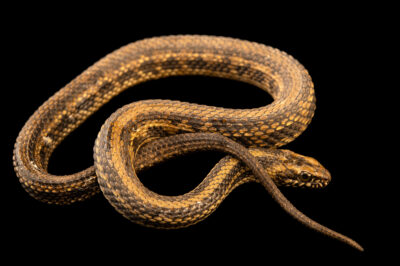 Photo: A salt marsh water snake (Nerodia clarkii clarkii) at a private collection.