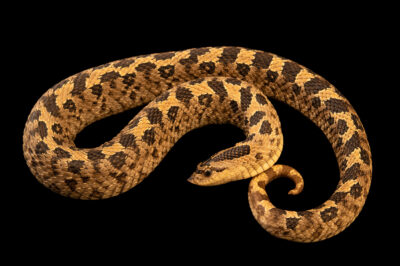 Photo: A southern hognose snake (Heterodon simus) in red and white color phases, at a private collection.