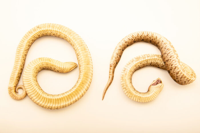 Photo: Southern hognose snakes (Heterodon simus) in red and white color phases, at a private collection.