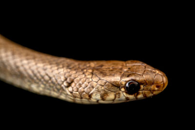 Photo: A ring-headed dwarf snake (Eirenis modestus) at Zoopark Zajezd.