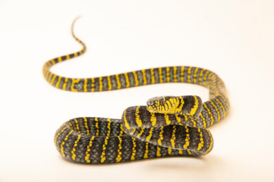 Photo: A mangrove snake (Boiga dendrophila divergens) at Zoo Plzeň.