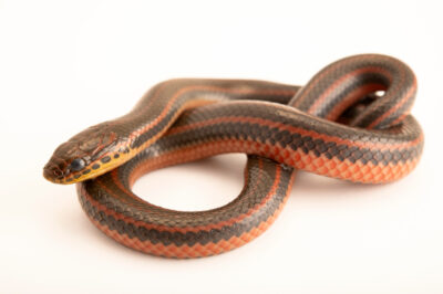 Photo: A rainbow snake (Farancia erytrogramma) collected at Choctawhatchee River, FL.