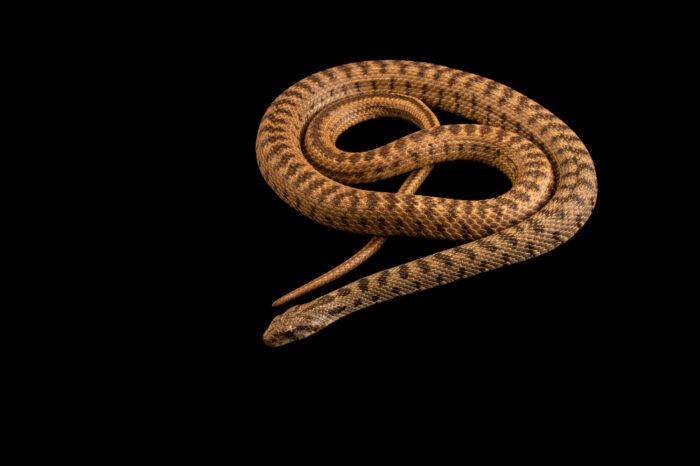 Photo: A spotted whip snake (Hemorrhois ravergieri) at Prague Zoo.