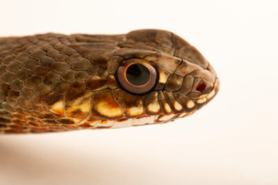Photo: An Eastern Montpellier snake (Malpolon insignitus) at Prague Zoo.