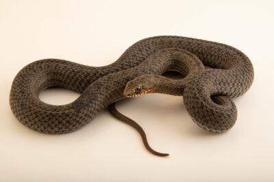 Photo: An Eastern Montpellier snake (Malpolon insignitus) at Prague Zoo.