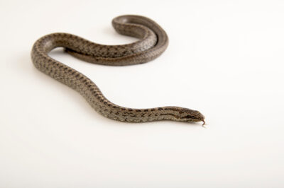 Photo: A smooth snake (Coronella austriaca) at Prague Zoo. This species can be reliably identified by it's distinctive crown marking on the top of it's head.