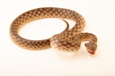 Photo: A Madagascar night snake (Madagascarophis colubrinus pastoriensis) at the Plzen Zoo in the Czech Republic.