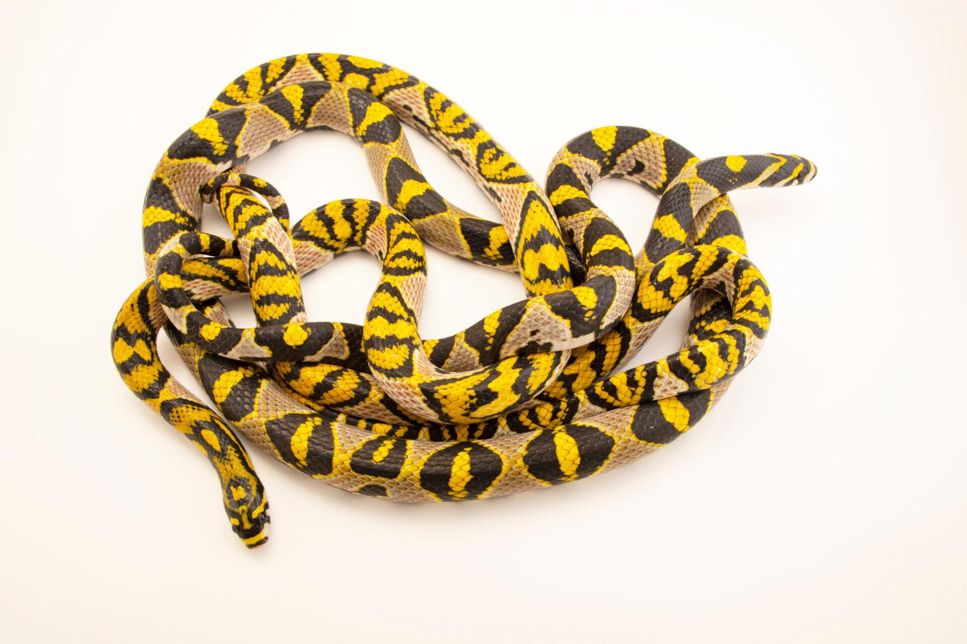 Photo: Two Mandarin trinket snakes (Euprepiophis mandarinus) at Safari Park Dvur Kralove.