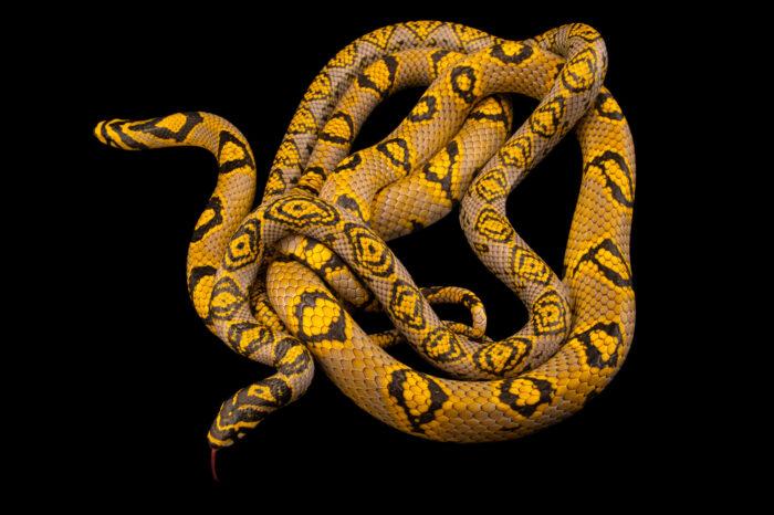 Photo: Two Mandarin trinket snakes (Euprepiophis mandarinus) at Dvůr Králové Zoo. This color morph was found in China.