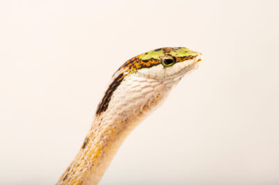 Photo: A twig snake (Thelotornis capensis) at Safari Park Dvur Kralove.