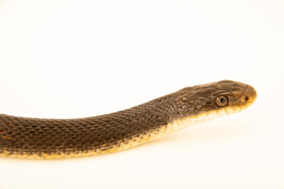 Photo: A Great Plains black rat snake (Pantherophis obsoletus) at Nebraska Wildlife Rehab.