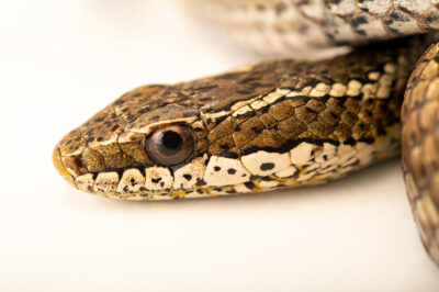 Photo: A long-tailed snake (Philodryas chamissonis) at the Santiago Zoo in Chile.