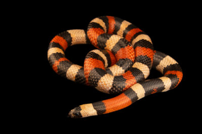 Photo: A Pueblan milk snake (Lampropeltis triangulum campbelli) at the Institute of Marine Mammal Studies (IMMS) at Gulfport, MS. This animal is part of their public education area.