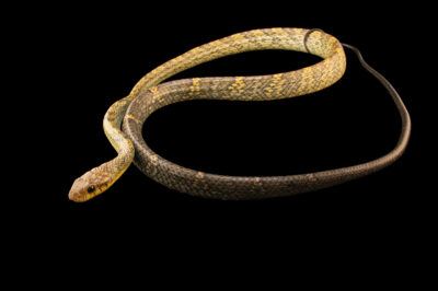 Photo: A South American puffing snake (Pseustes sulphureus) at the Brevard Zoo.