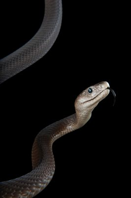 Photo: A black mamba (Dendroaspis polylepis) at Omaha's Henry Doorly Zoo and Aquarium.