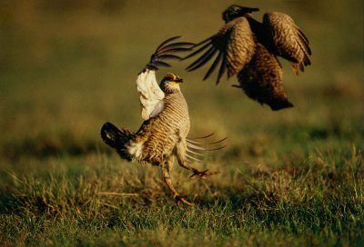 Photo: Two male Attwater's prairie-chickens fight for dominance and position at The Nature Conservancy's Texas City Prairie Preserve.