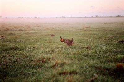 Photo: This cattle pasture 40 miles from Houston is now the last booming ground or lek for the Attwater's prairie-chicken.