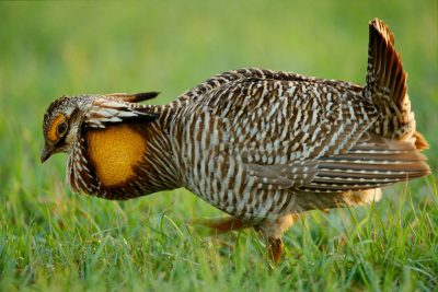 Photo: One of the last wild male Attwater's prairie chickens booming near Texas City, TX.