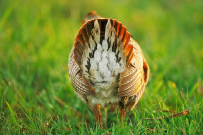 Photo: During the booming season, endangered male Attwater's prairie-chickens shake their tail feathers like there's no tomorrow hoping to attract a mate.