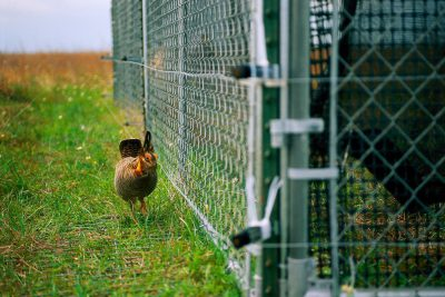 Photo: 'Frankie' the male Attwater's prairie chicken boomed and strutted outside a pen at the APC NWR for weeks, hoping to get a chance to mate.
