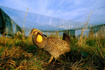 Photo: An endangered male Attwater's prairie chicken booms inside a pen at the Attwater Prairie Chicken NWR. Captive-raised males are allowed to breed and then turned loose while the females incubate their eggs in the pen.