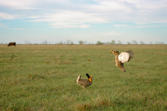 Photo: Two male Attwater's prairie-chickens (endangered) fight at the Nature Conservancy's Texas City Prairie Preserve, the last functional lek known to exist.